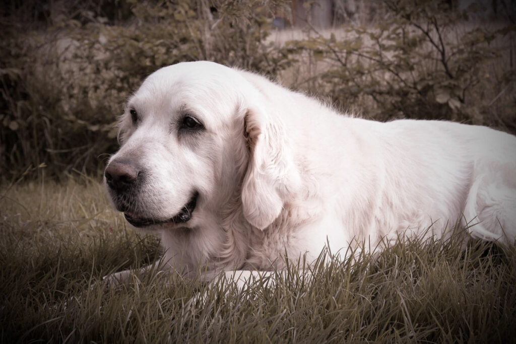 Seelenhund-Eric-Golden-Retriever