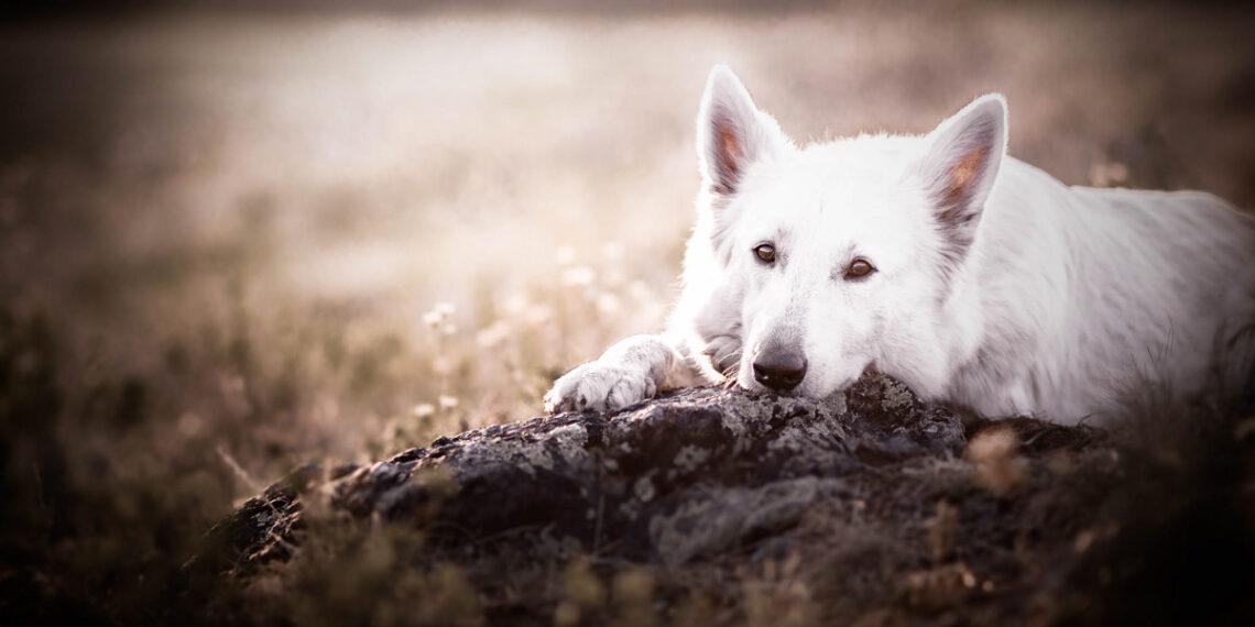 weißer Hund liegt auf einem Stein Coaching Canophobie