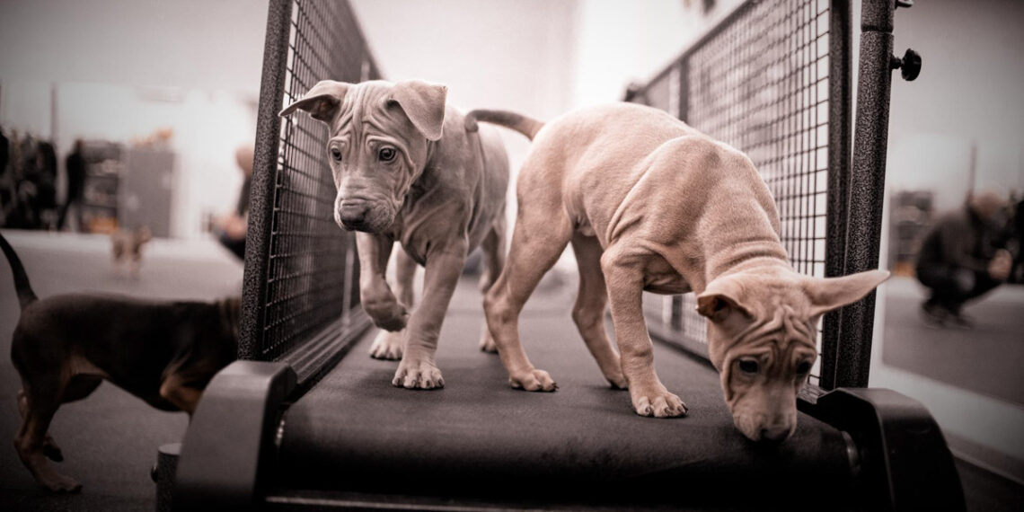 Laufbandtraining Auslastung Hunde zwei Welpen Laufband
