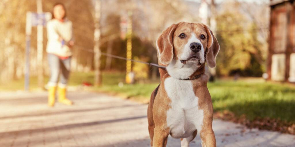 kleiner Hund Beagel zieht an der Leine Frauchen verschwommen im Hintergrund herbstliches Bild