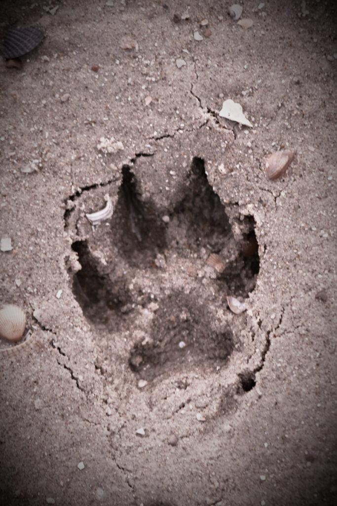 Hundepfote_Abdruck_Sand